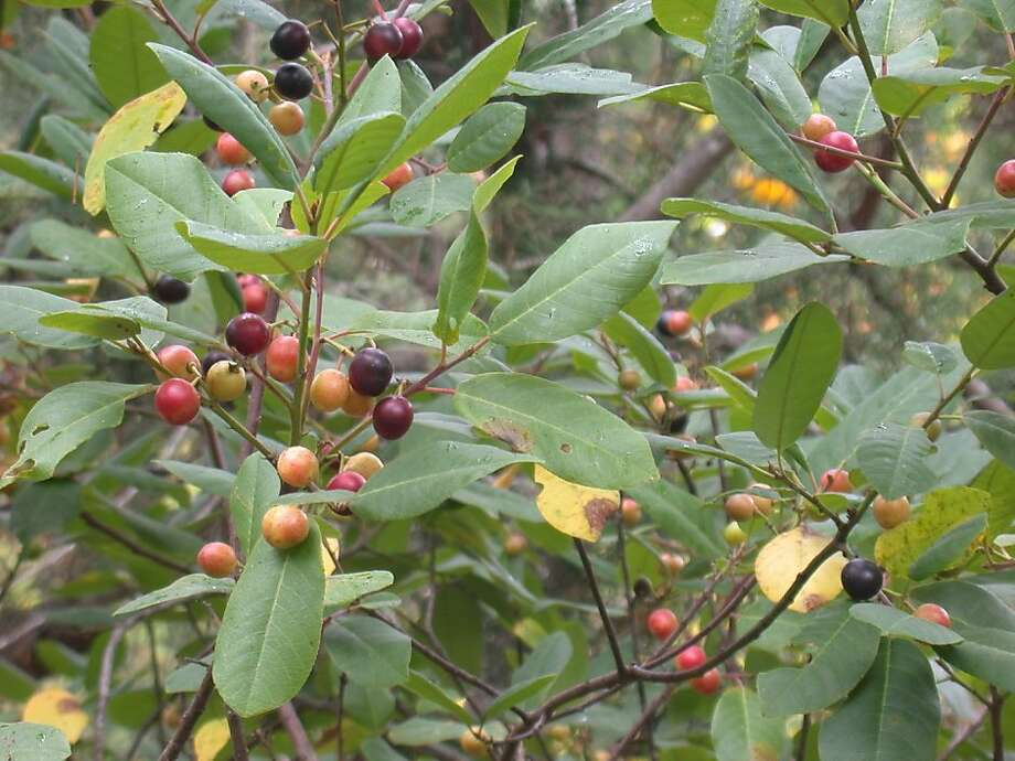 'Eve Case', like other California coffee berry varieties, has early summer berries that ripen from green to red to nearly black. Photo: Yerba Buena Nursery