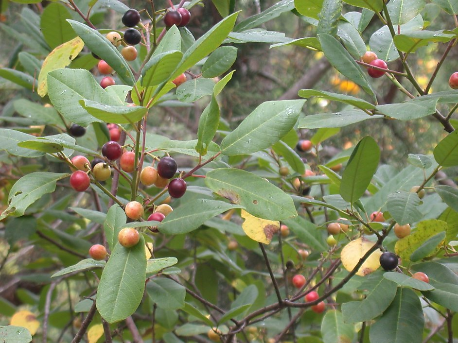 Coffee Berry Plant Is Taking Over Tiny Yard Sfgate