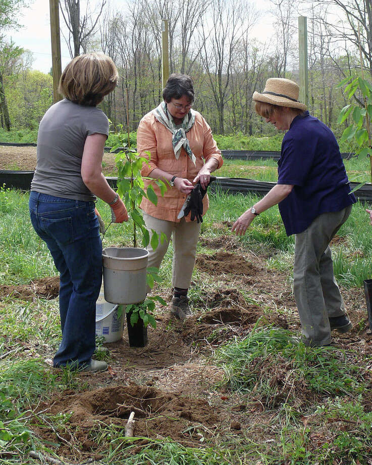 Members of the Fairfield Garden Club, from left, Moira Eick, president Peggy Moore, and Barbara Wooten, help plant American Chestnut trees Friday at the new softball field on Hoydens Lane to commemorate Arbor Day. Photo: Genevieve Reilly / Fairfield Citizen