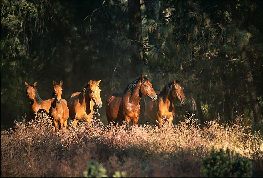 The Wild Horse Sanctuary is a Shasta County haven for rescued mustangs and burros and offers seasonal trail rides. Photo: Credit Wild Horse Sanctuary