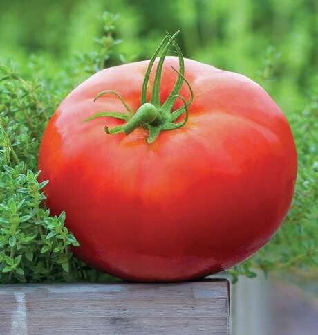 Tomatoes have nearly 32,000 genes, or 7,000 more than a human. Photo: Burpee / © Rob Cardillo
