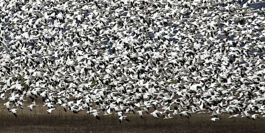 Thousands of Ross Geese take flight Thursday April 19, 2012 ioutside of Tulelake, Calif. An estimated 10,000 to 20,000 migrating birds have died so far this year because of reduced water flow to the Lower Klamath National Wildlife Refuge in Northern California. Photo: Lance Iversen, The Chronicle