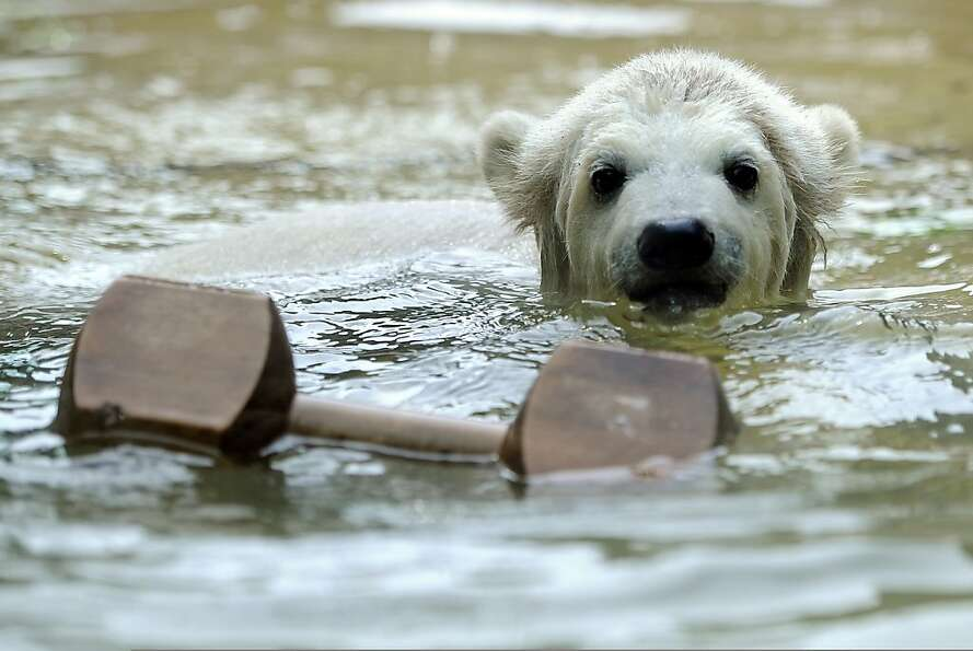 Baby polar bear Anori plays in the pool of her enclosure at the zoo in Wuppertal, western Germany, o