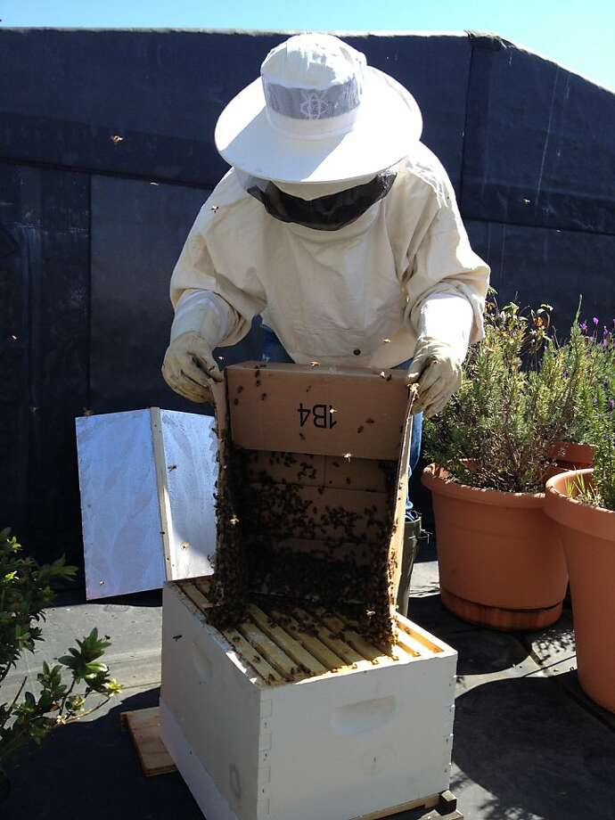 Meredith May pours the rescued swarm into its new digs. Photo: Deb Wandell, The Chronicle