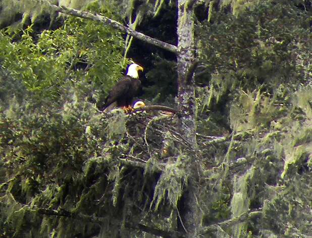 Two bald eagle nest in a fir tree above Crystal Springs Reservoir near Hillsborough, Calif. on Monday, March 19, 2012. Photo: Sarah Lenz