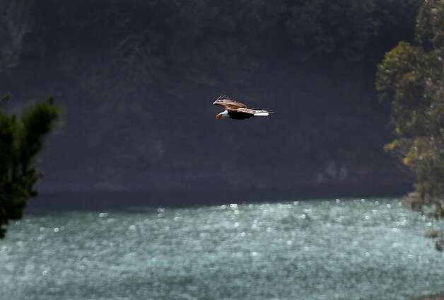A bald eagle soars above Crystal Springs Reservoir near Hillsborough, Calif. on Saturday, March 31, 2012. Photo: Ray Trabucco