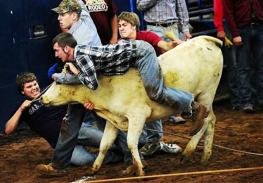 "Abilene Christian University's Trey Allen rides a steer with the help of his teammates, Jacob Wooden, left, Benton Cooper, center, and Josh Day, during the ""steer saddlin"" event at the 57th ACU Rodeo on Friday, April 20, 2012 at the Taylor County Expo Center. About 50 Agriculture and Environmental Science Club members participated in the nine rodeo events, proceeds from the annual fundraiser go to support the club. (AP Photo/Joy Lewis, Abilene Reporter-News) Photo: Joy Lewis, Associated Press"