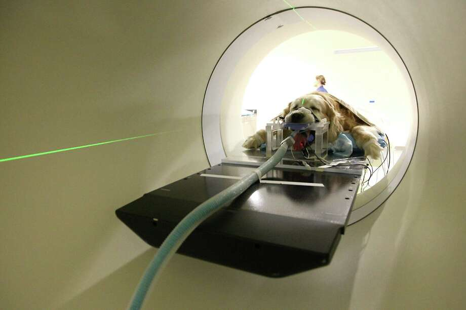 Bo the dog is anesthetized for his recent radiation treatment in the TomoTherapy machine at Texas A&M's Diagnostic Imaging and Cancer Treatment Center in College Station. Photo: Karen Warren / © 2012  Houston Chronicle