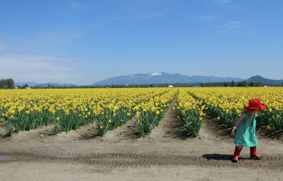 A girl plays in the mud in a RoozenGaarde daffodil field during the Skagit Valley Tulip Festival.