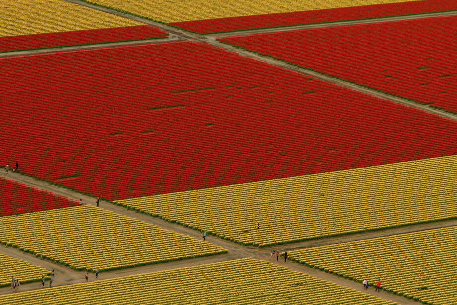 Visitors walk through tulip fields during the Skagit Valley Tulip Festival near La Conner on Sunday, Apr. 22, 2012 as seen in the photo from a Sky Fly'n Helicopter tour. The helicopter tours depart from Mount Vernon. The Skagit Valley Tulip Festival is in full bloom, carpeting fields in the Skagit valley with color. Photo: SOFIA JARAMILLO / SEATTLEPI.COM
