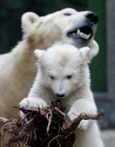 Polar bear cub Anori is with its mother Vilma explores the outdoor enclosure at the zoo in Wuppertal, Germany, on Monday. Anori was born on Jan. 4 and is becoming a major attraction highlight. Photo: AP