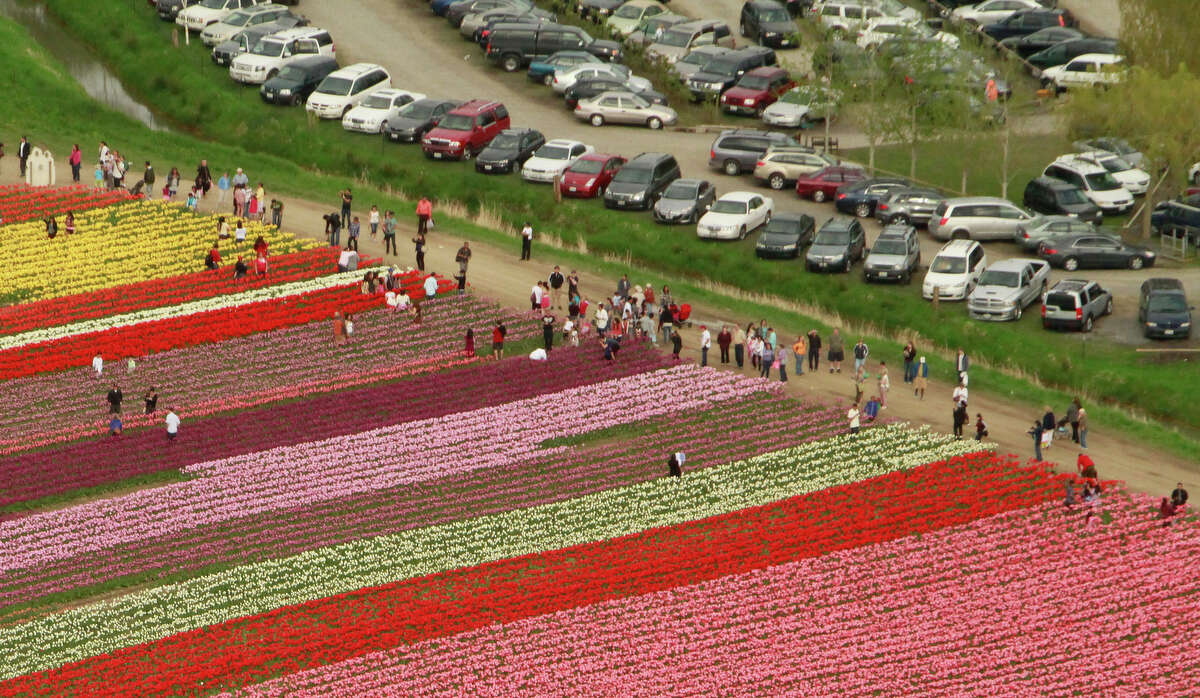 Visitors walk through a field at Tulip Town during the Skagit Valley Tulip Festival near La Conner on Sunday, Apr. 22, 2012 as seen in the photo from a Sky Fly'n Helicopter tour. The helicopter tours depart from Mount Vernon. The Skagit Valley Tulip Festival is in full bloom, carpeting fields in the Skagit valley with color.