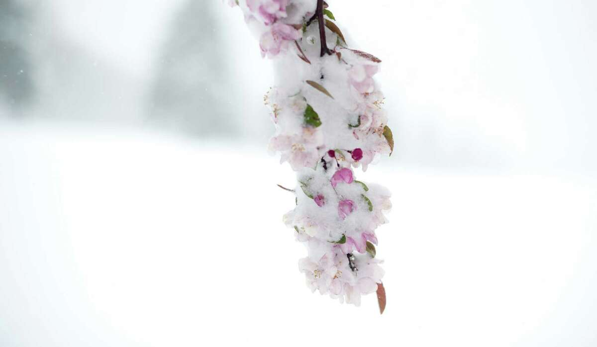 An apple blossom is coated after eight inches of snow fell Monday in Somerset, Pa.
