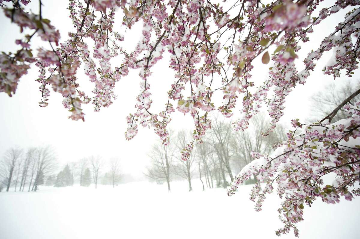 Snow coats an apple tree in bloom after 8 inches of snow fell Monday in Somerset, Pa.