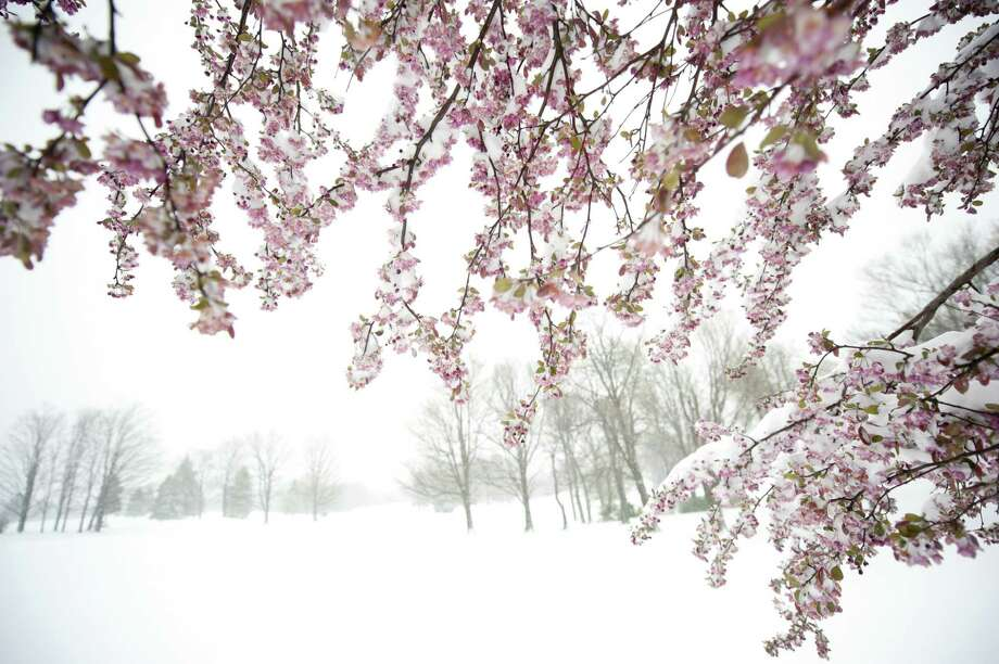 Snow coats an apple tree in bloom after 8 inches of snow fell Monday in Somerset, Pa.  Photo: Jeff Swensen, Getty Images / 2012 Getty Images