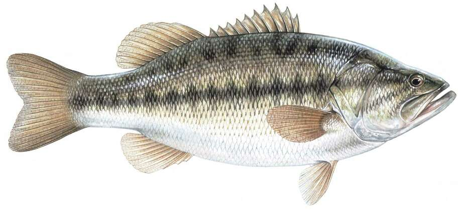 Largemouth bass: Limit is five per day, 14-inch minimum length