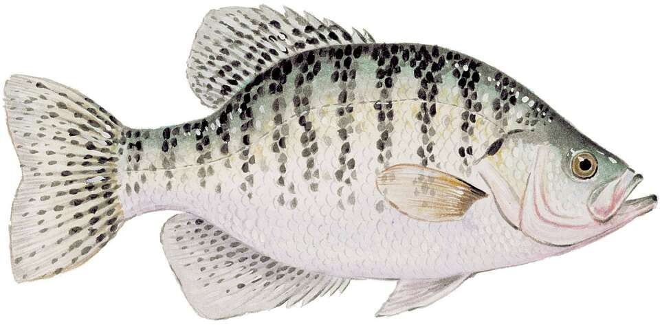 White and black crappie limit is 25 per day aggregate 10 for Fish size limits