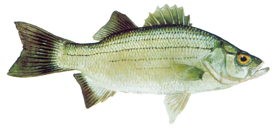 White bass: Limit is 25 per day, 10-inch minimum length
