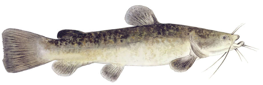 Flathead catfish: Limit is five per day, 18-inch minimum length