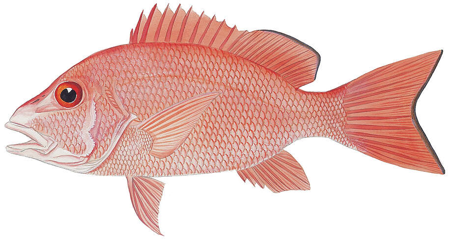Red snapper: Limit in waters under Texas' jurisdiction is four fish per day with 15-inch minimum length. Limit in waters under federal jurisdiction is two fish per day with a 16-inch minimum length.