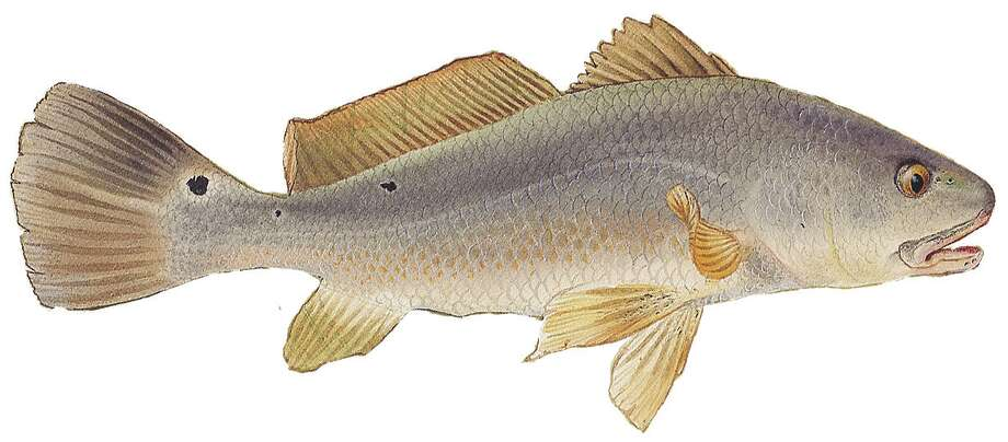 Redfish: Limit it three per day, 20-inch minimum and 28-inch maximum length. Photo: Texas Parks & Wildlife Department