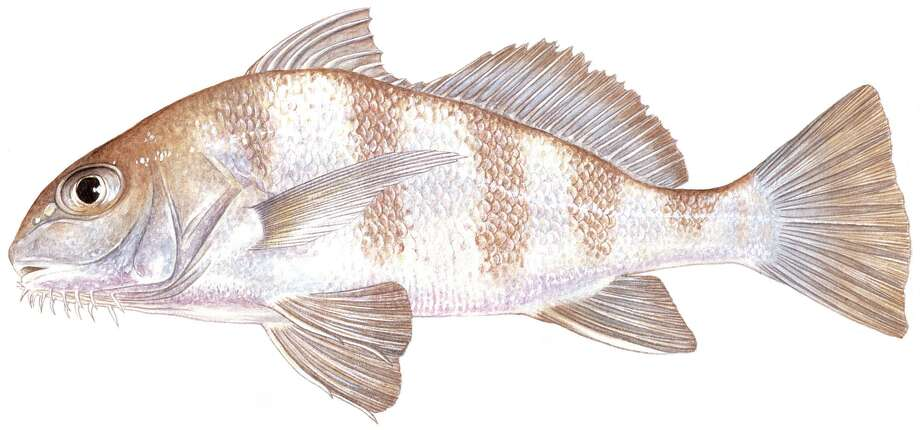Black drum: Limit is five per day; 14-inch minimum, 30-inch maximum. A single black drum measuring 52 inches may be retained and counts in the daily bag. Photo: Texas Parks & Wildlife Department