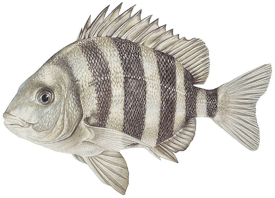 Sheepshead: Limit is five per day; 15-inch minimum length. Photo: Texas Parks & Wildlife Department