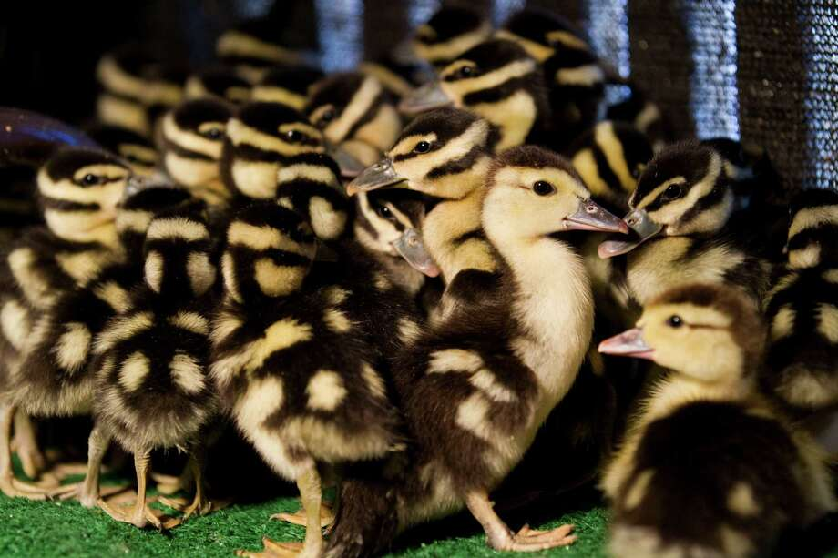 A group of baby black billed whistling ducks are seen at the Wildlife Center of Texas Monday, April 23, 2012, in Houston. Photo: Brett Coomer, Houston Chronicle / © 2012 Houston Chronicle