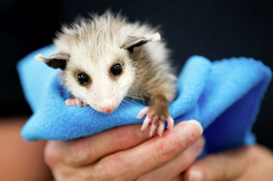 An opossum is held by Margaret Pickell at the Wildlife Center of Texas Monday, April 23, 2012, in Houston. Photo: Brett Coomer, Houston Chronicle / © 2012 Houston Chronicle