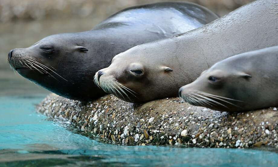 Inactive duty seals: Actually, they're sea lions (you can tell by the ears) lying on their blubber at the zoo in Wuppertal, Germany.  