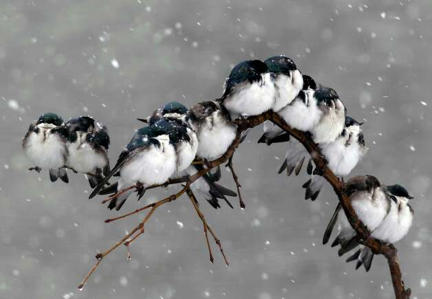 Birds perch on a branch during a spring snowstorm in Pembroke, N.Y., Monday, April 23, 2012. A spring nor'easter packing soaking rain and high winds churned up the Northeast Monday morning, unleashing a burst of winter and up to a foot of snow in higher elevations inland, closing some schools and sparking concerns of power outages. (AP Photo/David Duprey) Photo: David Duprey