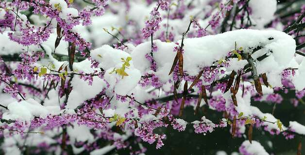 A flowering Dog wood tree in Johnstown, Pa., is covered by a fresh blanket of snow, Monday, April 23, 2012. A spring nor'easter packing soaking rain and high winds churned up the Northeast Monday morning, unleashing a burst of winter and up to a foot of snow in higher elevations inland, closing some schools and sparking concerns of power outages. (AP Photo/The Tribune-Democrat, Todd Berkey) Photo: Todd Berkey
