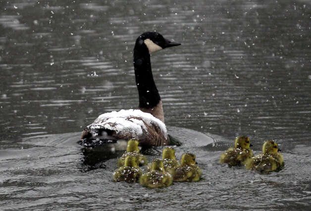 Canada geese and goslings travel in a spring snow in Pembroke, N.Y., Monday, April 23, 2012. (AP Photo/David Duprey) Photo: David Duprey