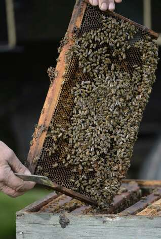 Bees to be used for pollination of the Indian Ladder apple orchard in Altamont, N.Y. April 18, 2012.  (Skip Dickstein/Times Union) Photo: Skip Dickstein / 00017266A