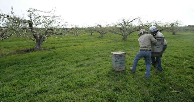 Gary Rulison, right with Ben Rulison of the Rulison Honey Farms carry bees to be used for pollination of the Indian Ladder apple orchard in Altamont, N.Y. April 18, 2012.  (Skip Dickstein/Times Union) Photo: Skip Dickstein / 00017266A