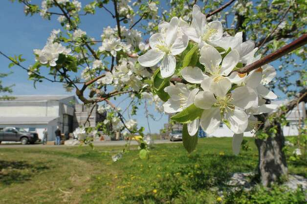 Some of the apple trees are in bloom at Goold Orchards seen here on Thursday, April 19, 2012 in Castleton, NY.  Each flower blossom will turn into an apple.  The orchard, which is in its 102nd year, has 17,000 apple trees, with 16 varieties of apples.  Karen Gardy, the director of marketing for the orchard and the winery, said that the trees are blooming about three weeks early due to the warm weather.  Gardy said that all the apple orchards are now hoping really hard that there are no hard frosts coming because that would kill the blooms.  This Saturday, April 21st, the Brookview Station Winery at Goold Orchards will be the first stop on the Pasta and Sauced, a Hudson-Berkshire Beverage Trail wine tasting passport event that pairs wines with food samples.  The winery has 12 different wines they produce and a new dark cherry port wine called Porter's Port. (Paul Buckowski / Times Union) Photo: Paul Buckowski