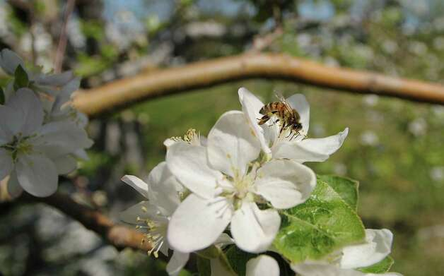 A bee pollenates an apple blossom as some of the apple trees are in bloom at Goold Orchards seen here on Thursday, April 19, 2012 in Castleton, NY.  Each flower blossom will turn into an apple.  The orchard, which is in its 102nd year, has 17,000 apple trees, with 16 varieties of apples.  Karen Gardy, the director of marketing for the orchard and the winery, said that the trees are blooming about three weeks early due to the warm weather.   Gardy said that all the apple orchards are now hoping really hard that there are no hard frosts coming because that would kill the blooms.  This Saturday, April 21st, the Brookview Station Winery at Goold Orchards will be the first stop on the Pasta and Sauced, a Hudson-Berkshire Beverage Trail wine tasting passport event that pairs wines with food samples.  The winery has 12 different wines they produce and a new dark cherry port wine called Porter's Port. (Paul Buckowski / Times Union) Photo: Paul Buckowski
