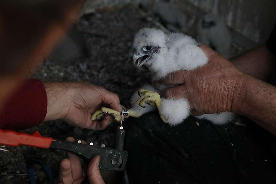 A peregrine falcon baby is banded by Glenn Stewart (l to r), director University of California Santa Cruz Predatory Bird Research Group and David Gregorie, research associate University of California Santa Cruz Predatory Bird Research Group, on the 33rd Floor of 77 Beale Street on Monday, April 23, 2012 in San Francisco, Calif. Photo: Lea Suzuki, The Chronicle