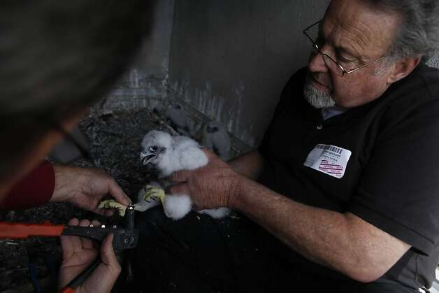 A peregrine falcon baby is banded by Glenn Stewart (l to r), director University of California Santa Cruz Predatory Bird Research Group and David Gregorie, research associate University of California Santa Cruz Predatory Bird Research Group, on the 33rd Floor of PG&E's 77 Beale Street building on Monday, April 23, 2012 in San Francisco, Calif. Photo: Lea Suzuki, The Chronicle