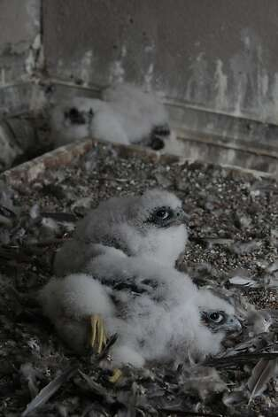 Peregrine falcon babies are seen before being banded by members of the University of California Santa Cruz Predatory Bird Research Group on the 33rd Floor of PG&E's 77 Beale Street building on Monday, April 23, 2012 in San Francisco, Calif. Photo: Lea Suzuki, The Chronicle