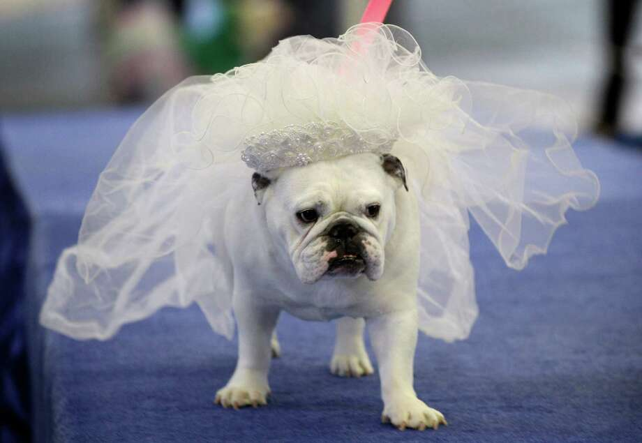 Maggie, owned by Bobby Jo Andreason, of Des Moines, Iowa, walks across the stage during the 33rd annual Drake Relays Beautiful Bulldog Contest Monday, April 23, 2012, in Des Moines, Iowa. The pageant kicks off the Drake Relays festivities at Drake University where a bulldog is the mascot. (AP Photo/Charlie Neibergall) Photo: Charlie Neibergall, STF