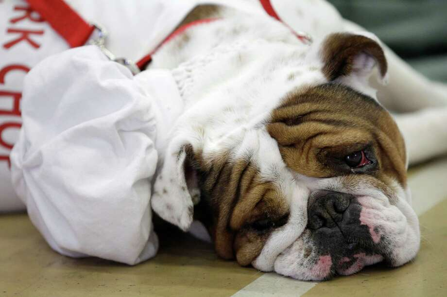Pork Chop, owned by Melissa Deneen, of Cambridge, Minn., looks on during the 33rd annual Drake Relays Beautiful Bulldog Contest Monday, April 23, 2012, in Des Moines, Iowa. The pageant kicks off the Drake Relays festivities at Drake University where a bulldog is the mascot. Photo: Charlie Neibergall, AP / AP