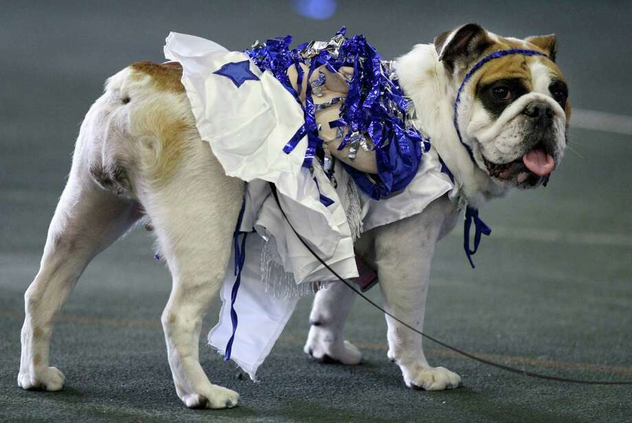 Matilda Rose, owned by Bennie Ward, of Independence, Iowa, looks on during the 33rd annual Drake Relays Beautiful Bulldog Contest Monday, April 23, 2012, in Des Moines, Iowa. The pageant kicks off the Drake Relays festivities at Drake University where a bulldog is the mascot. Photo: Charlie Neibergall, AP / AP