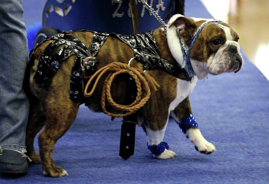Zena the Warrior Princess, owned by Cindy Driscoll, of Cedar Rapids, Iowa, walks across the stage during the 33rd annual Drake Relays Beautiful Bulldog Contest Monday, April 23, 2012, in Des Moines, Iowa. The pageant kicks off the Drake Relays festivities at Drake University where a bulldog is the mascot. Photo: Charlie Neibergall, AP / AP