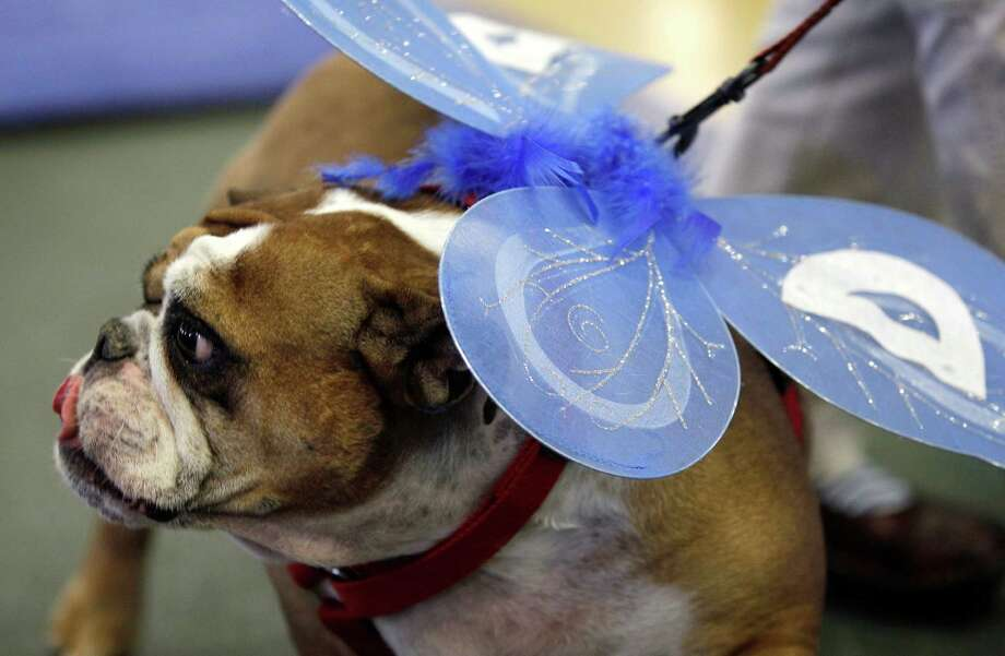 Winnie, owned by Susan Sherzan, of West Des Moines, Iowa, looks on during the 33rd annual Drake Relays Beautiful Bulldog Contest Monday, April 23, 2012, in Des Moines, Iowa. The pageant kicks off the Drake Relays festivities at Drake University where a bulldog is the mascot. Photo: Charlie Neibergall, AP / AP