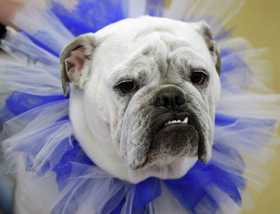 Lilli, owned by Wendi French, of West Des Moines, Iowa, looks on during the 33rd annual Drake Relays Beautiful Bulldog Contest Monday, April 23, 2012, in Des Moines, Iowa. The pageant kicks off the Drake Relays festivities at Drake University where a bulldog is the mascot. Photo: Charlie Neibergall, AP / Copyright 2012 The Associated Press. All rights reserved. This m