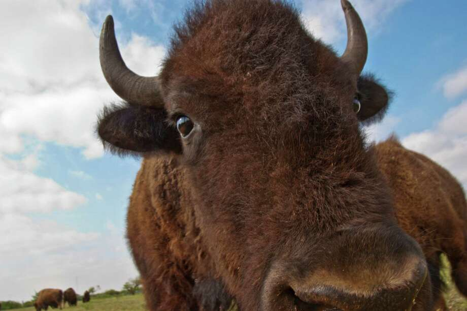 You can get up close and personal with bison at San Angelo State Park. Photo: Joshua Trudell, For The Express-News