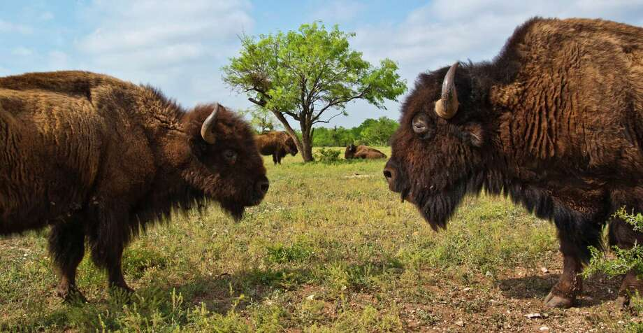 A couple of bison briefly square off at San Angelo State Park. Photo: Joshua Trudell, For The Express-News