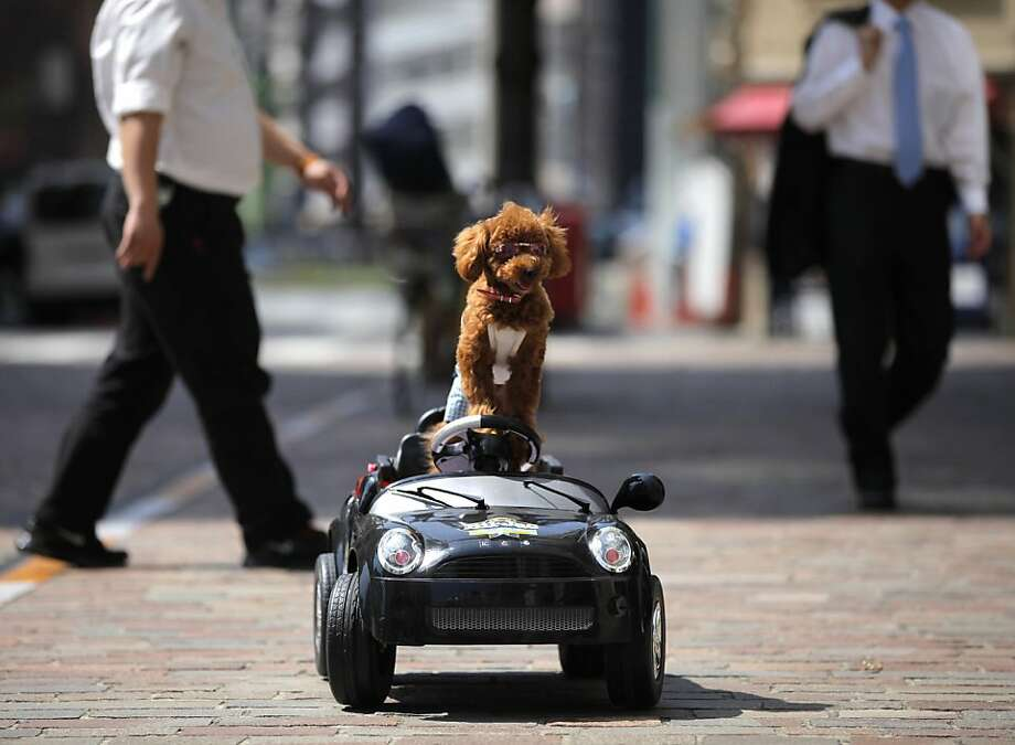 Out of my way, pedestrians! Nitoru the poodle thinks he's driving a subsubcompact, but it's really being controlled remotely by its owner in Tokyo. Photo: Itsuo Inouye, Associated Press