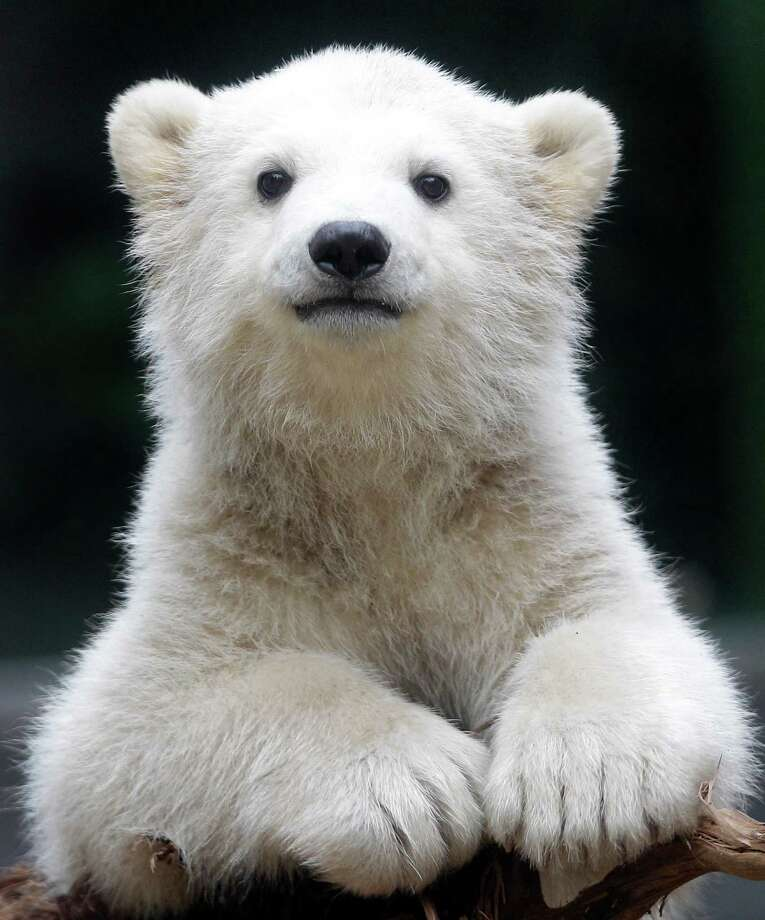 Polar bear cub Anori explores the outdoor enclosure at the zoo in Wuppertal, Germany, on Monday, April 23, 2012. Anori was born on January 4 and is becoming a visitor's highlight. Photo: Frank Augstein, AP / AP